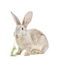 Kaninchen frist Karotte