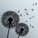 Fototapeta Two flowers dandelions on grey background