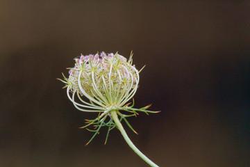 Semillas de umbelífera, Sauceda, España