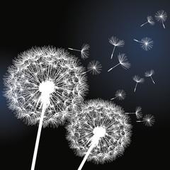 Two flowers dandelions on black background