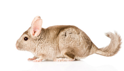 chinchilla standing in profile. isolated on white background