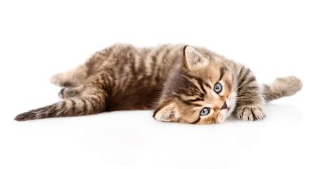 playing british kitten. isolated on white background