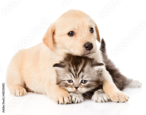 Keuken foto achterwand Kat golden retriever puppy dog and british cat together. isolated on