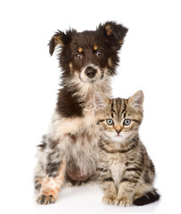 dog and Scottish kitten. looking at camera. isolated on white ba