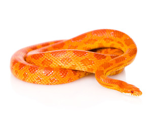 Creamsicle Corn Snake (Elaphe guttata guttata). isolated on whi