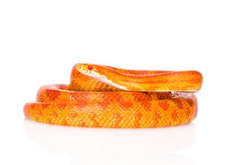 Creamsicle Corn Snake (Elaphe guttata guttata). isolated on whi