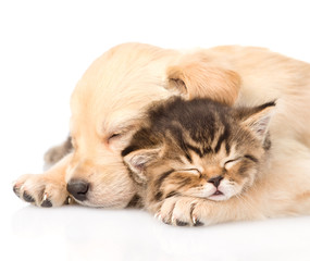 Closeup golden retriever puppy dog sleep with british kitten. is