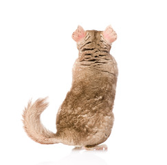 Rear view of a chinchilla. isolated on white background
