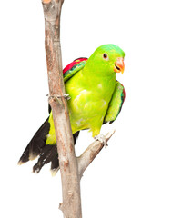 Red-Winged Parrot (Aprosmictus erythropterus) in front. isolated