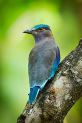 Portrait of Indian roller(Coracias benghalensis) in nature