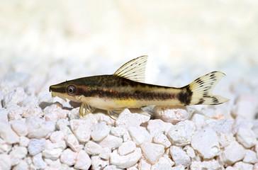 Oto Dwarf Suckermouth otocinclus vittatus algae eater catfish