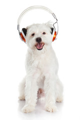 white dog with headphone isolated on white background. dog liste