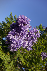 Southern California Purple-Blue Jacaranda
