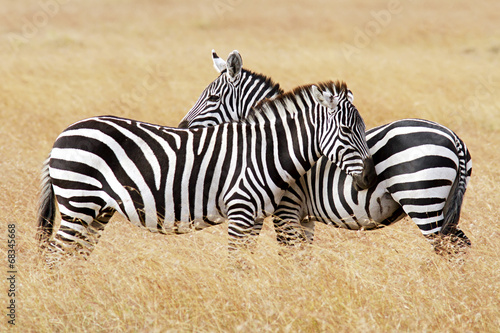 Foto op Canvas Zebra Zebras on the Masai Mara in Africa