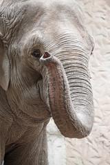 Portrait of an asiatic elephant