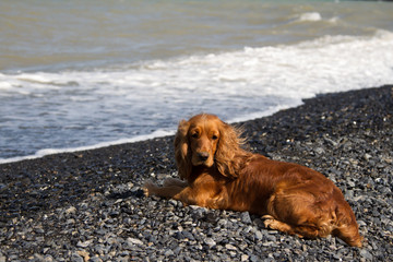 Spaniel on the beach