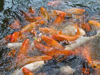 Feeding Koi Fish
