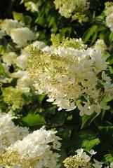 Rispen Hortensie Hydrangea  paniculata