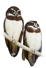 Couple of Spectacled Owls