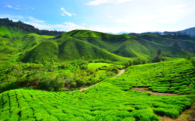 Tea Plantation Fields on the Mountain © karinkamon