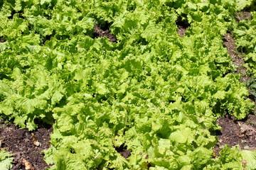 Salatköpfe in einem kleinen Garten