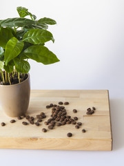 Coffee tree and grains of the fried coffee