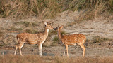 Spotted deer, specie axis axis, in Bardia, Nepal poster