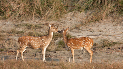 Spotted deer, specie axis axis, in Bardia, Nepal