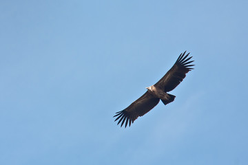 Himalayan griffon vulture flying in Nepal