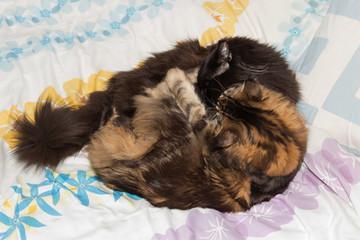 Raufende Maine Coon Kitten