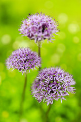 Herbal Garden - flowering garlic in the garden