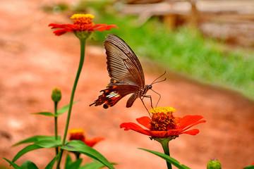 Female Black Swallowtail butterfly feeding on flower