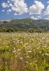 wild flowers in a meadow on Corfu island, Greece