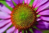 Fototapety Purple Coneflowers (Echinacea)