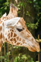 Jonge giraf, Giraffe, Giraffa camelopardalus rothschildi