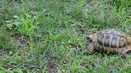 Little wild or domestic turtle walking on grass