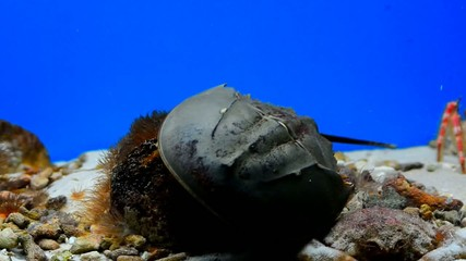 Horseshoe Crab (Limulidae)