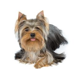 Dog stuck tongue out a little
