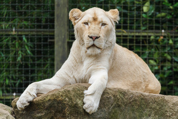 Afrikaanse witte leeuwin, Panthera leo