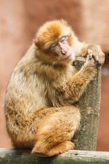 Soezend berber aapje