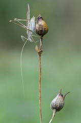 Macro of grasshopper