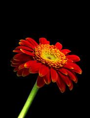 Gerbera flower isolated on black