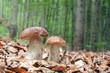 mushroom - 68364249