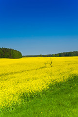 Rapeseed yellow field