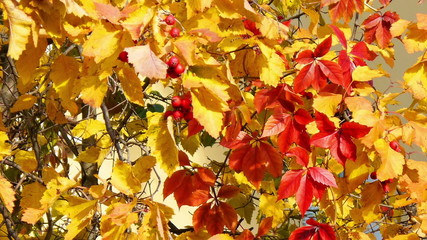 Colorful hawthorn