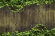 Ivy on the wall - 68365604