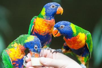 Rainbow Lorikeet Parrot