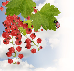 Red Currant With Leaves