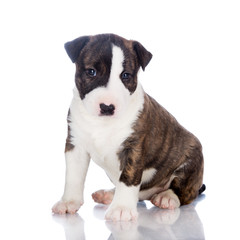 brindle english bull terrier puppy sitting