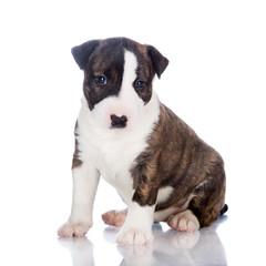 brindle english bull terrier puppy sitting